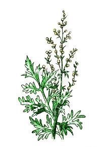 Лечение аллергии на полынь — АСИТ