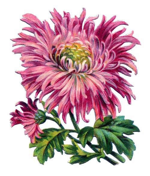 аллергия на хризантемы