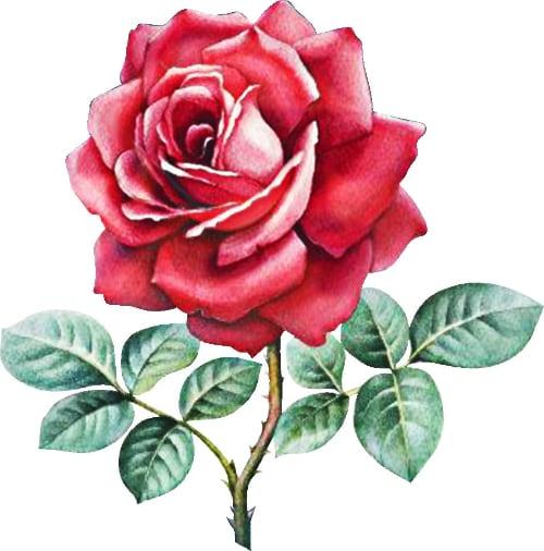 аллергия на розы
